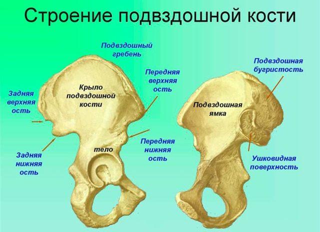 Где находится подвздошная кость - местонахождение и строение